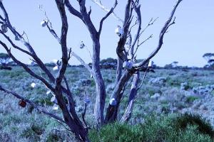 Perth via the Nullarbar ~ Mug Tree in Full Bloom