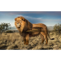 Lion Wild Kingdom Hoffman Quilt Panel 43 x 27 Inches Digital Print Sewing Buddies Australia