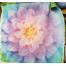 Opal Dream Big Hoffman Quilt Panel 43 x 43 Inches Digital Print 2 Sewing Buddies Australia